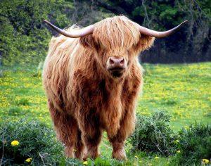 体毛が伸び過ぎた牛